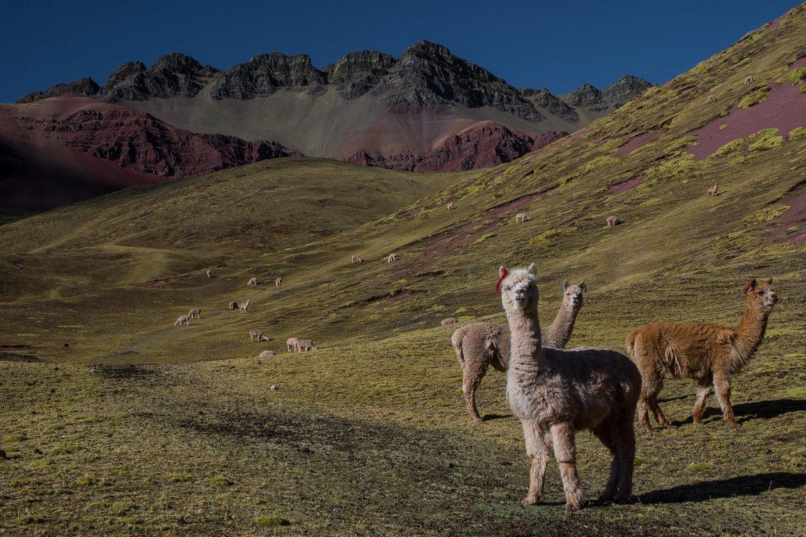 Trekking in Perù - Alpaca al Pascolo
