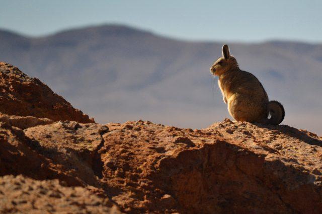 viscacha-fauna-andina-salares-boliviani
