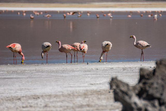 fenicotteri-james-salar-de-uyuni-bolivia-fauna